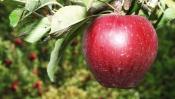 Парки, природные памятники: Ньютоновская яблоня